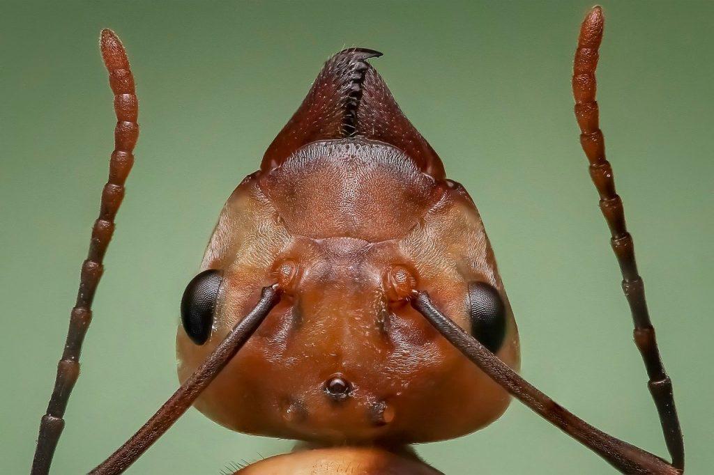 Hormigas, controlar plagas.